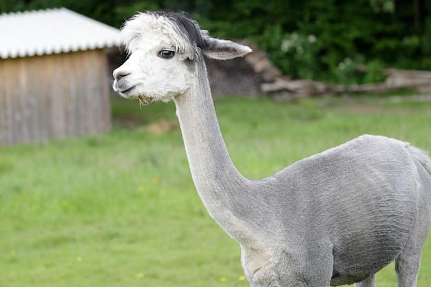 Grijze alpaca (vicugna pacos) in een weiland