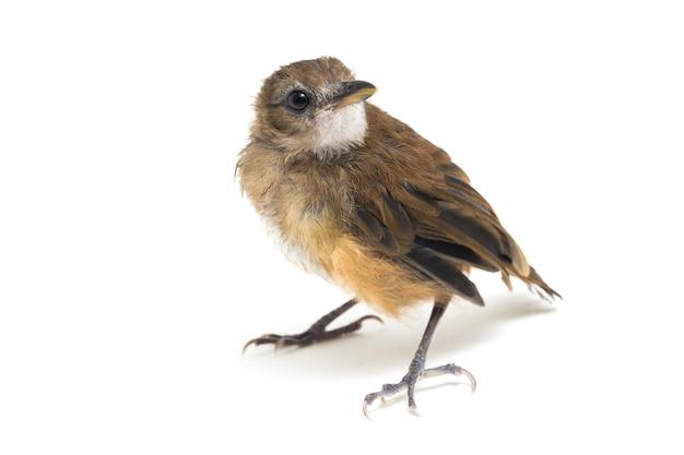 Grijze bovenlijf jungle vliegenvanger vogel