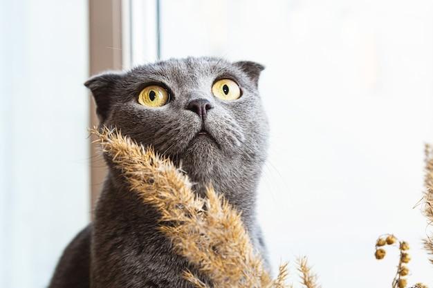 Grijze brits korthaar kat kijkt uit het raam door aartjes van pampagras.