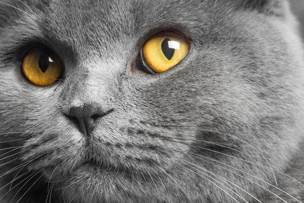 Grijze britse korthaar kat met mooie ogen op een witte achtergrond