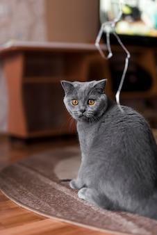 Grijze britse shorthair kattenzitting op tapijt thuis