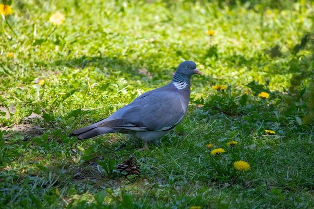 Grijze duif loopt in de zomer op een groene weide