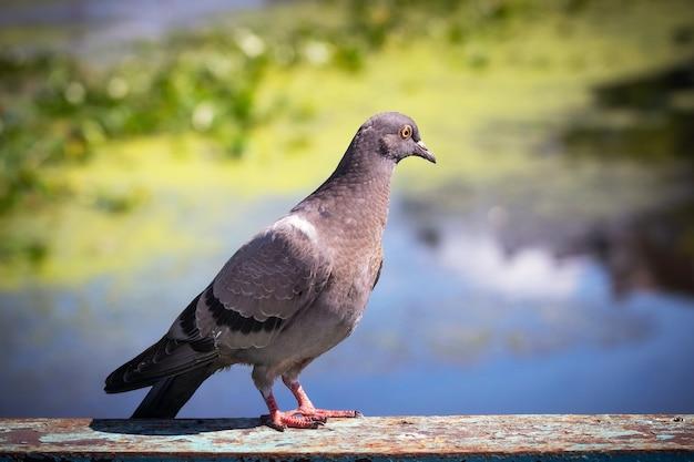 Grijze duif op een achtergrond van de rivier bij zonnig weer