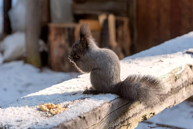 Grijze eekhoorn die broodkruimels op houten logboek in de winter eet