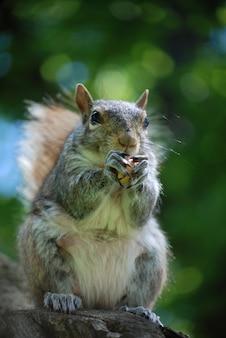 Grijze eekhoorn die een pinda eet terwijl hij op een boom zit