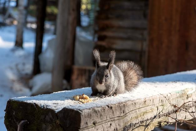 Grijze eekhoorn die in de winter in de buurt van broodkruimels op houten logboek situeert