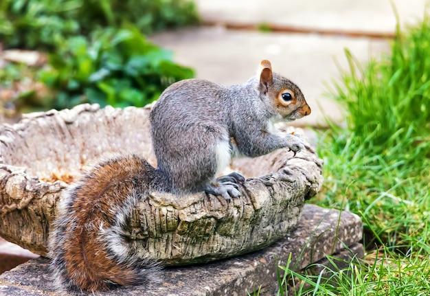 Grijze eekhoorn in tuin.