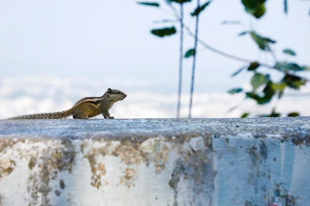 Grijze eekhoornzitting op muursamenstelling