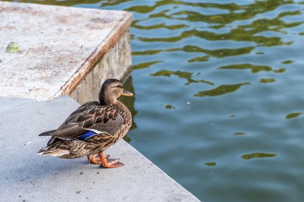 Grijze eendvogel die zich op de bank van een meer in de zomer bevindt.