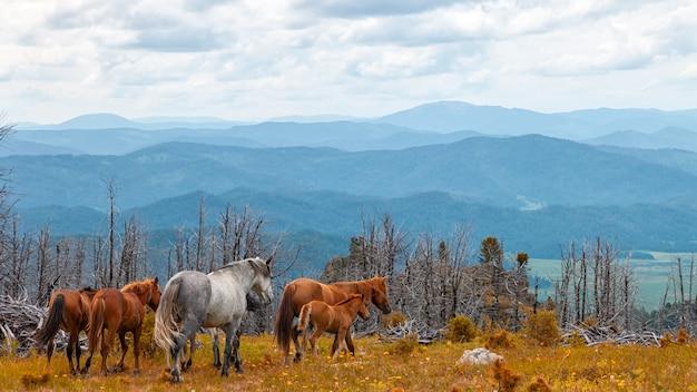 Grijze en bruine paarden die vrij in weide met bos met hoge berg, rivier en hemelachtergrond lopen.