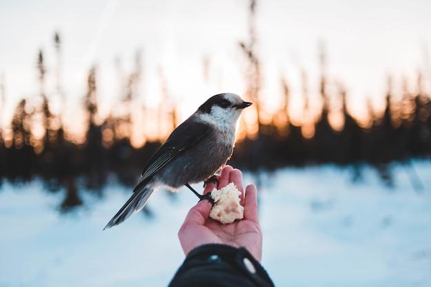 Grijze en witte vogel zitstokken op menselijke hand