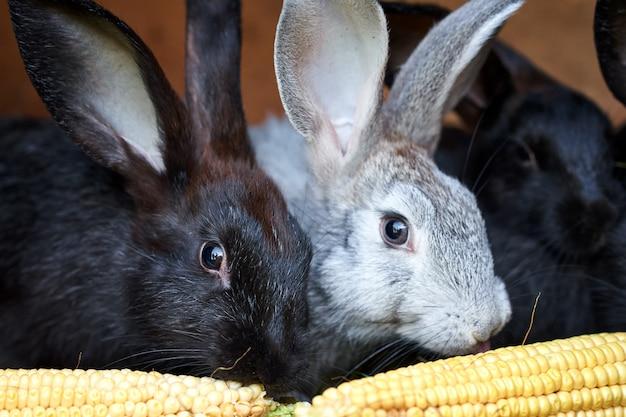 Grijze en zwarte konijntjeskonijnen die korenaar, close-up eten