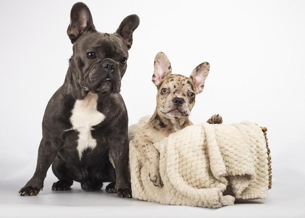 Grijze franse buldog zittend in de buurt van een mand met een deken en een mooie buldogpuppy erin
