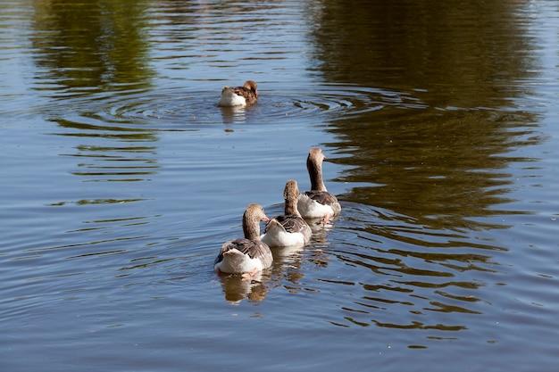 Grijze ganzen die in het meer één voor één zwemmen, close-up in aard, binnenlandse ganzen