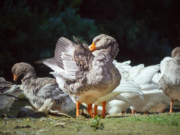 Grijze ganzen op de rivier