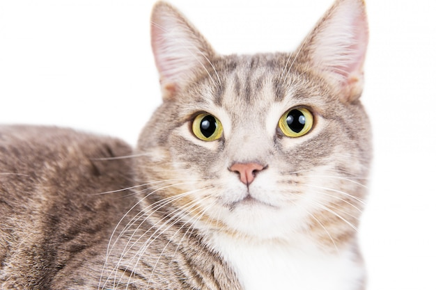 Grijze gestreepte kat die op witte achtergrond ligt.