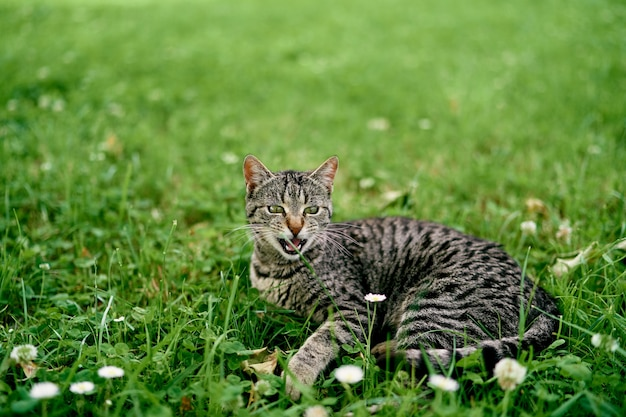 Grijze gestreepte kat ligt op een bloemenweide