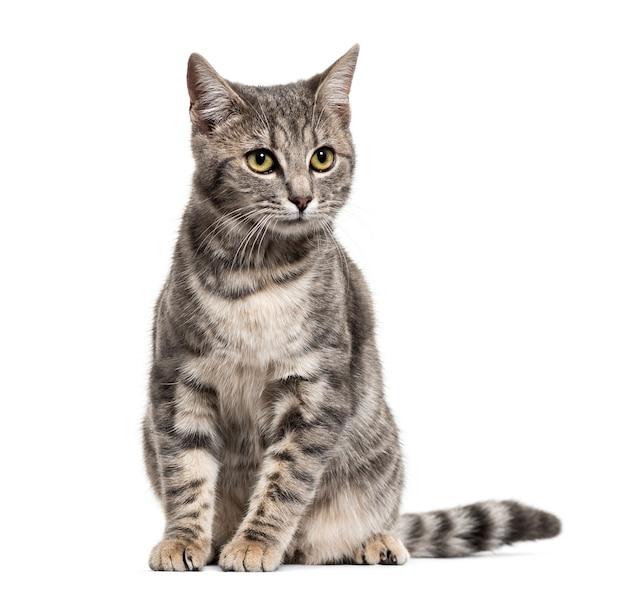 Grijze gestripte kattenzitting van gemengd ras, die op wit wordt geïsoleerd
