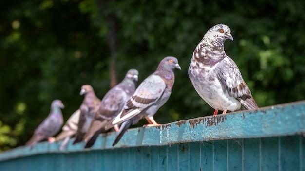 Grijze gevlekte duiven zitten op een ijzeren hek in het park