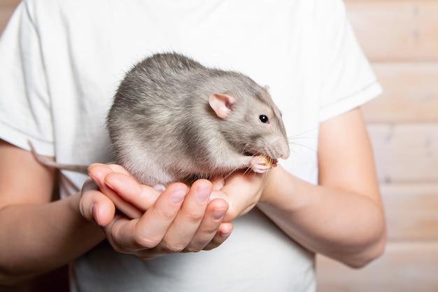 Grijze handrat dumbo in de handen van een kind. huisdier, close-up. jaar van de rat 2020.
