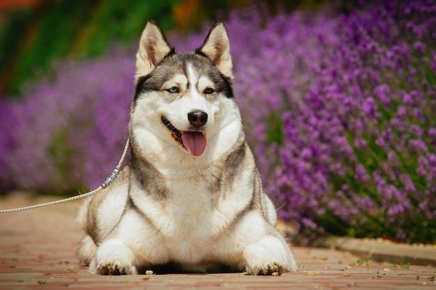 Grijze hond die op het voetpad ligt. bloeiende lavendel op de achtergrond. portret van een siberische husky.