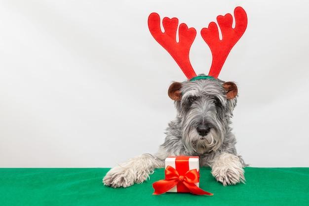 Grijze hond in kerstrendiergewei met een cadeau