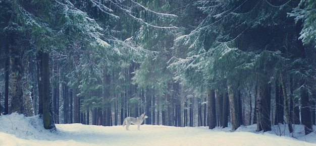 Grijze hondenras husky staat in het winterbos, kerstbomen en paden bedekt met sneeuw.