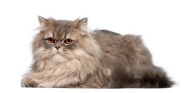 Grijze kat die voor wit ligt