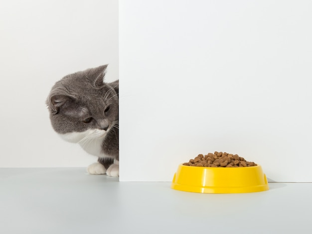 Grijze kat gluurt uit de hoek, dierlijke emoties, kijkt naar een kom met voedsel, op een wit, concept.