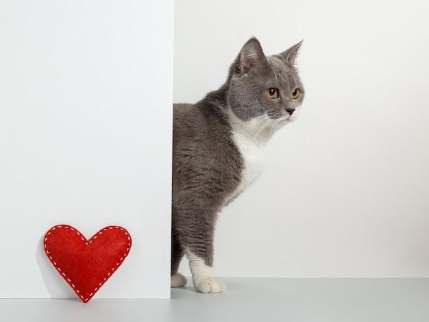 Grijze kat gluurt uit de hoek, dierlijke emoties, rood ambachtelijk hart, valentijnsdag, op een wit, concept.