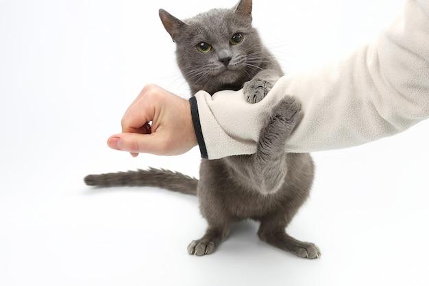 Grijze kat greep zijn handpoten op witte achtergrond