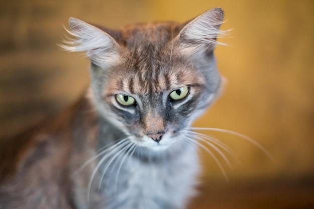 Grijze kat kijkt ernaar uit