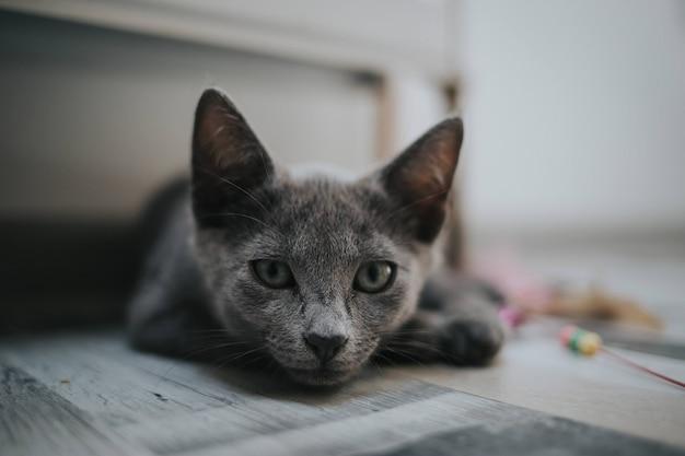 Grijze kat liggend op zijn buik op de vloer