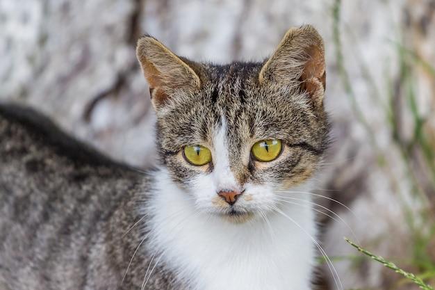 Grijze kat met een witte vlek op een onscherpe achtergrond