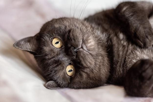 Grijze kat met gele ogen en poten opgetrokken ligt op zijn rug
