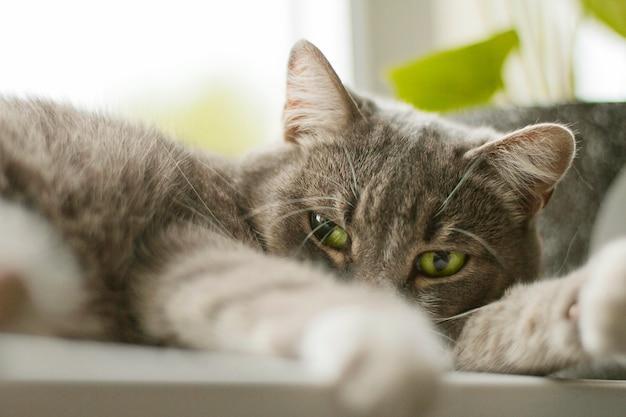 Grijze kat met groene ogen liggend op de vensterbank