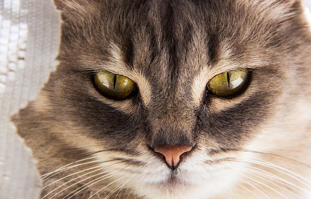 Grijze kat met grote ogen.