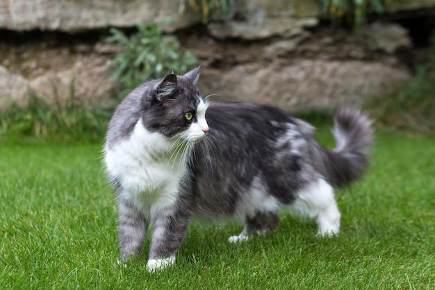 Grijze kat met grote pluizige staart lopen op groen gras.