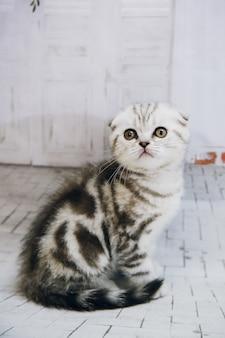 Grijze kat met hangende oren op witte geïsoleerde muur. portret kat close-up