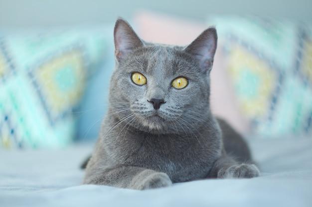 Grijze kat ontspannen op bed. russische blauwe kat op gezellige interieur.