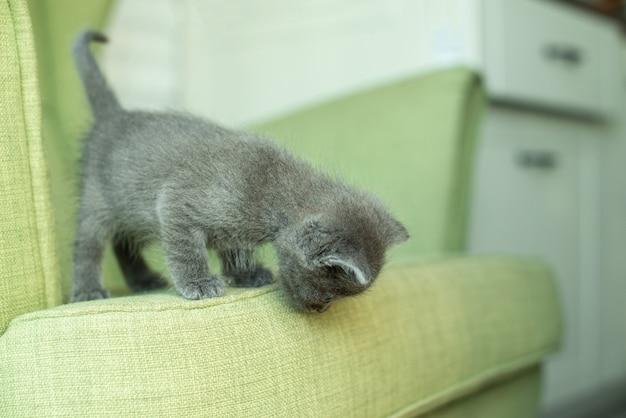 Grijze kat op een groene fauteuil. kitten op het meubilair. dieren in huis.
