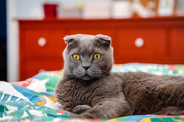 Grijze kat schotse vouw ligt op het beddengoed op het bed met een mooi modern interieur