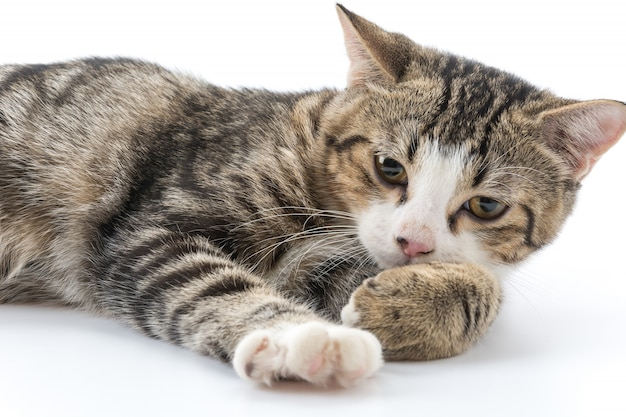 Grijze kat