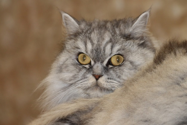 Grijze, kawaii, schattige, pluizige scottish highland straight longhair cat met grote oranje ogen en lange snor in bed thuis. close-up portret.