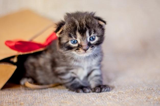 Grijze kitten met blauwe ogen kijkt met geschenkverpakking. prachtig en ongebruikelijk cadeau voor verjaardag of voor kerstmis_