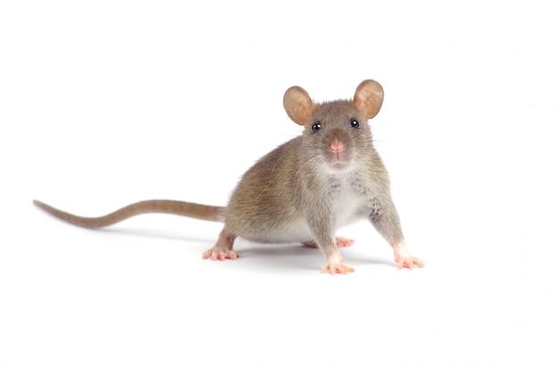 Grijze kleine muis