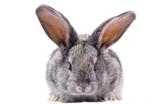Grijze konijn isoleren, prachtige decoratieve konijn spelen konijn