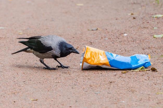 Grijze kraaien zetten een zak vuilnis buiten op zoek naar voedsel en vervuilen de stad.