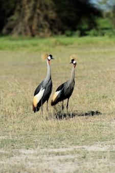 Grijze kroonkraanvogel balearica regulorum gibbericeps
