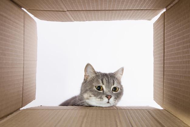 Grijze mooie kat, gluurt in de kartonnen carobka, een nieuwsgierig huisdier controleert interessante plaatsen. kopieer ruimte.